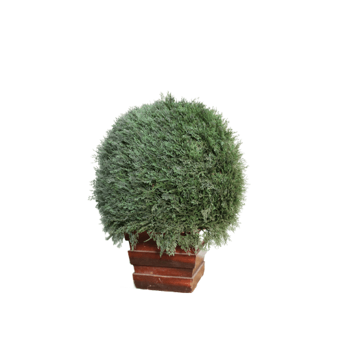 Potted Conifer