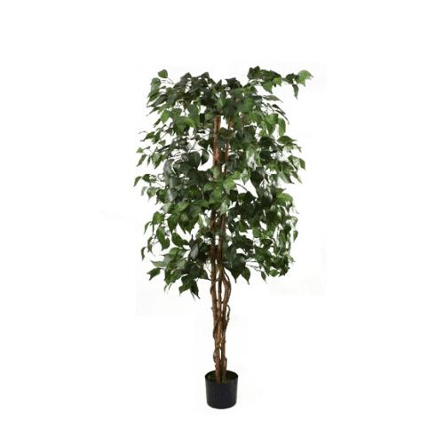 Ficus Tree Large